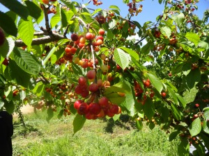 We ate bajillions of fresh cherries right from the tree.