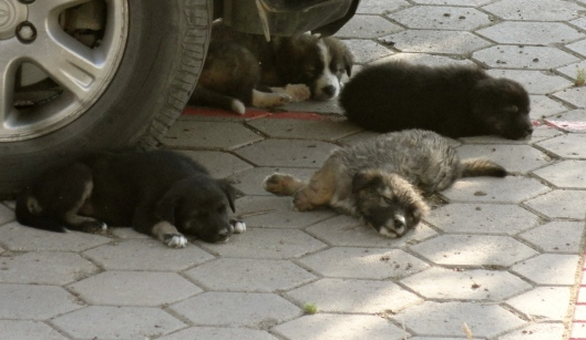 Here are 4 of the other puppies. They like to lay under the car, making it hard to go anywhere. Oh, and notice the one that looks like our puppies? We call her the defector. We think she might have been one of Sammie's, but left early to find a better mother. Ahhhh, it's a dog's life!